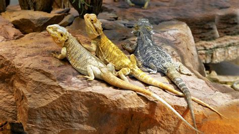 They Don't Breathe Fire, But Bearded Dragons Make Cool