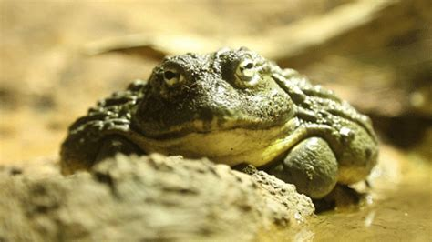 African bullfrog | Zoological Society of London (ZSL)